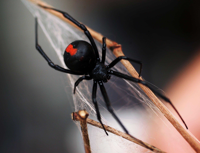 A black widow spider