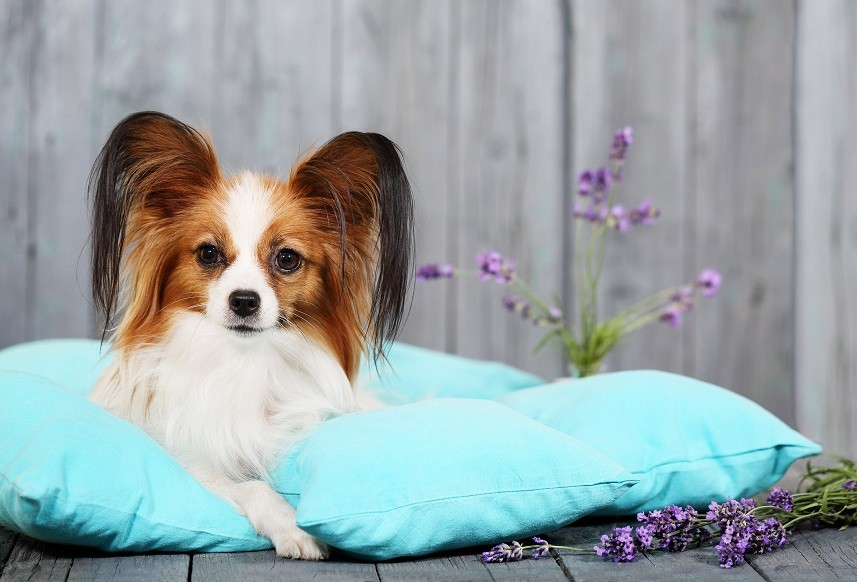 Papillon lying on pillows