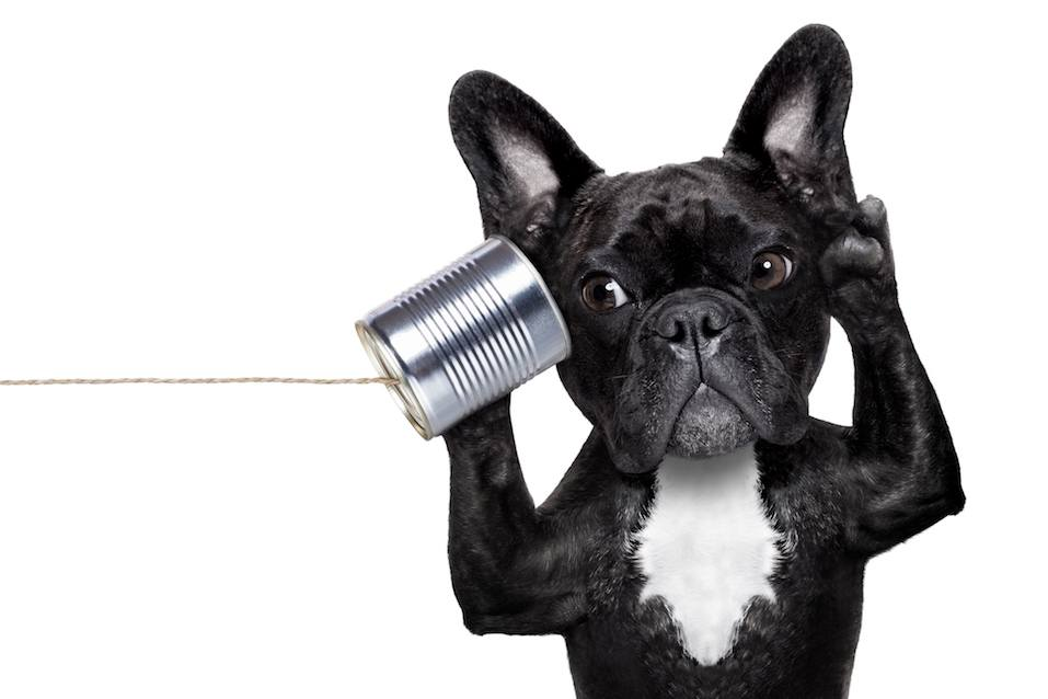 french bulldog dog listening or talking on the can telephone