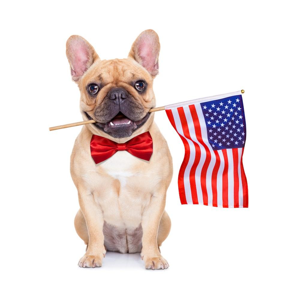 french bulldog holding a flag of usa