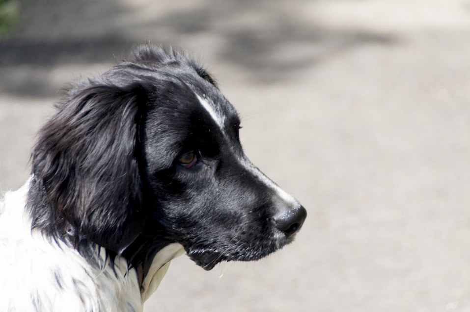 head of a stabyhoun