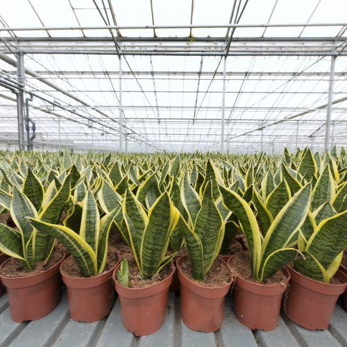 variegated snake plants in greenhouse""