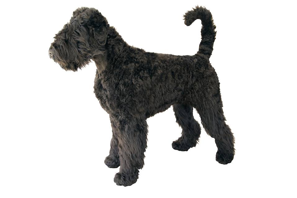 shaggy giant schnauzer standing isolated