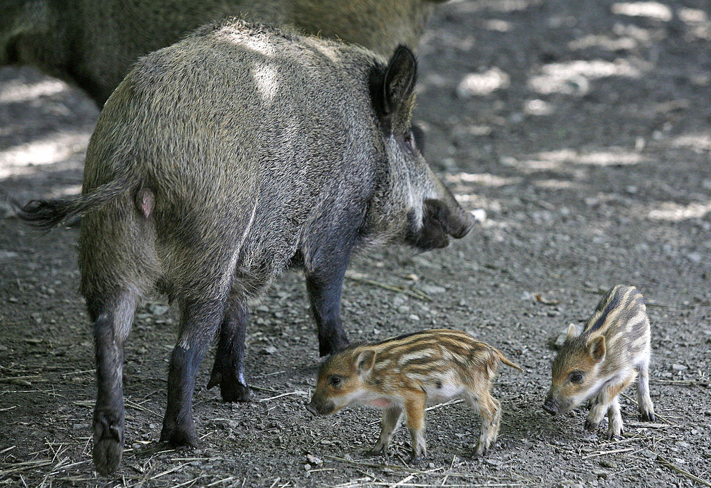 A wild boar with cubs