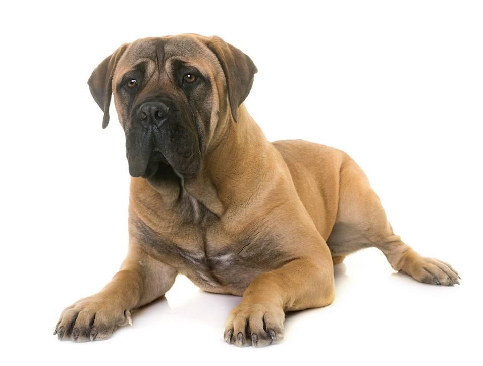puppy bullmastiff