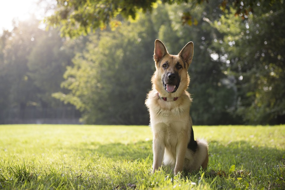 young purebreed alsatian dog in park
