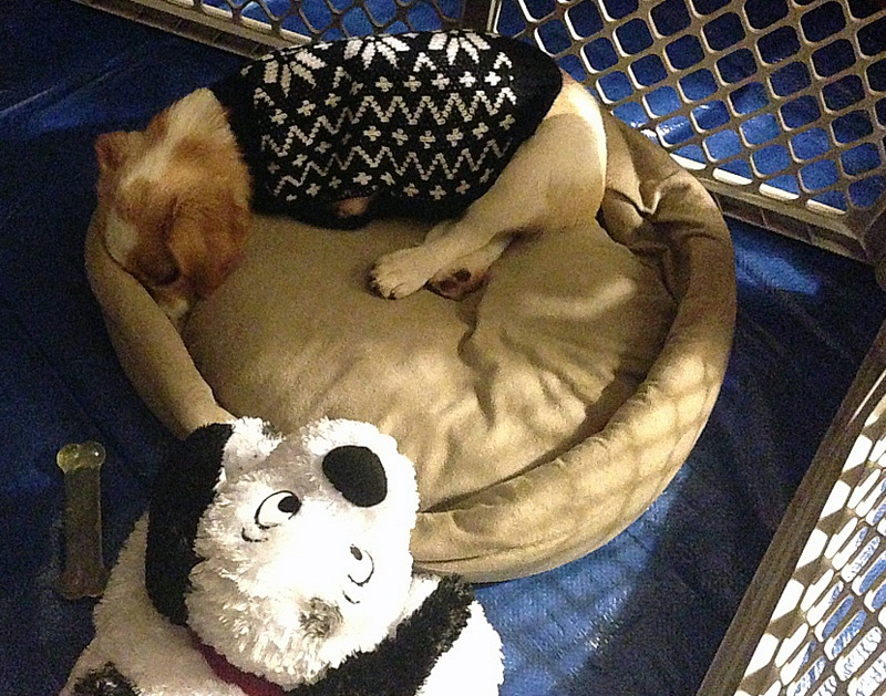 foster puppy