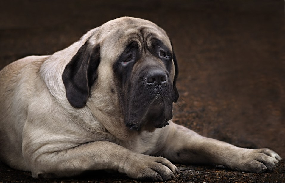 English Mastiff portrait