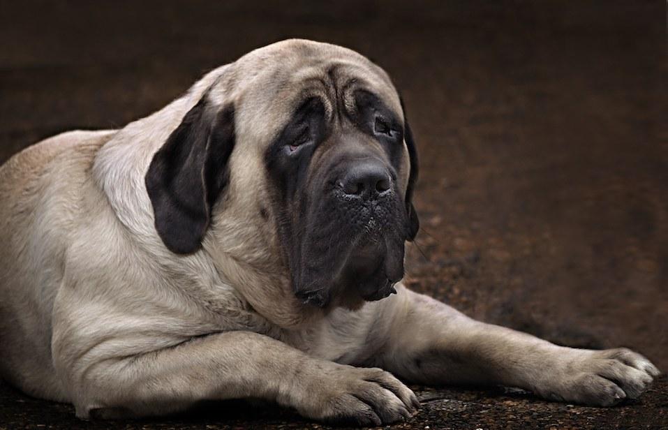 English Mastiff portrait