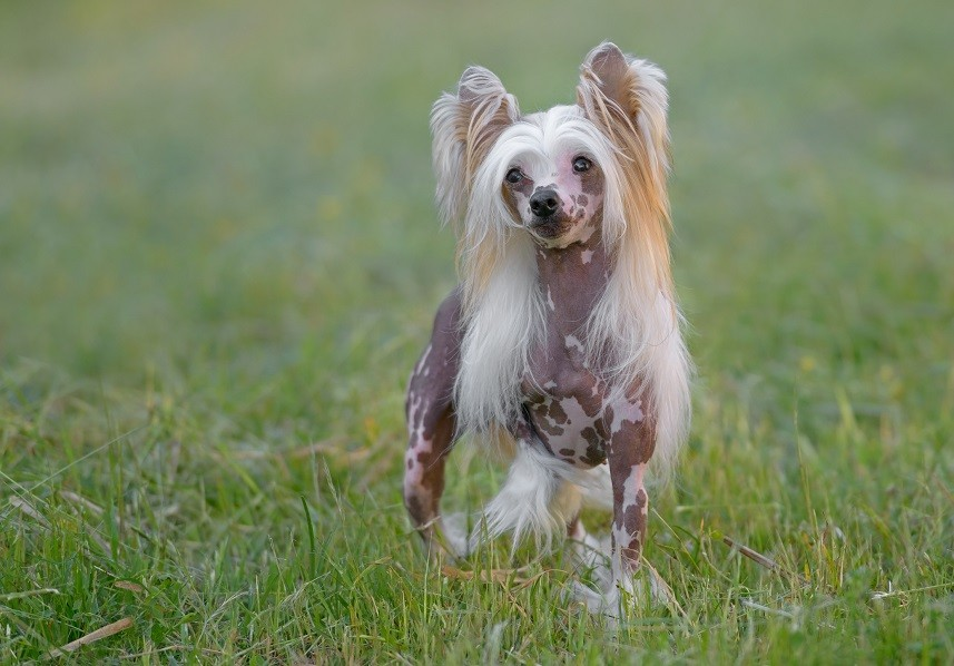 Grooming Hairy Hairless Chinese Crested Dog
