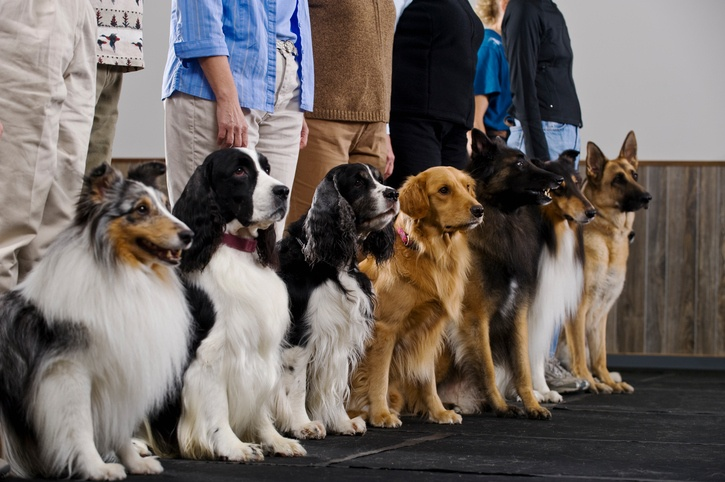 Line of dogs in obedience class