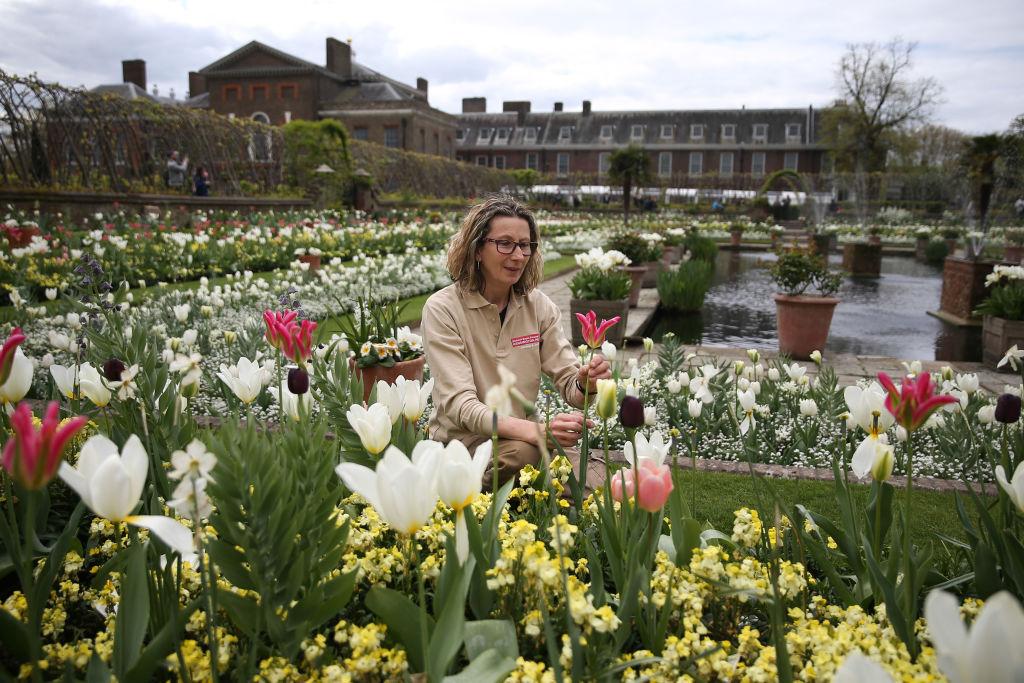 Gardener Jude Evans inspects a Tulip