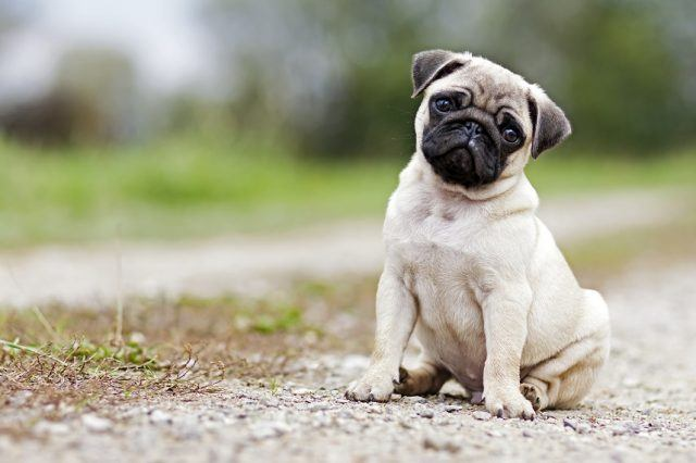 old boy pug puppy