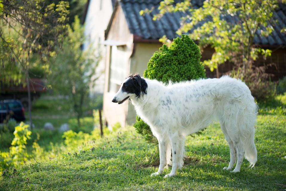 Russian Wolfhound dog