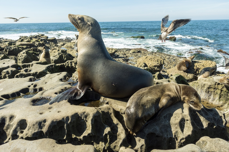 Sea Lion - family seal on the beach, La Jolla, California.USA