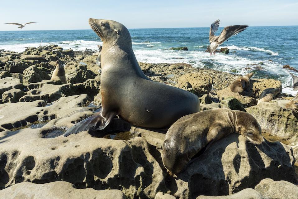 Sea Lion - family seal on the beach, La Jolla, California.USA