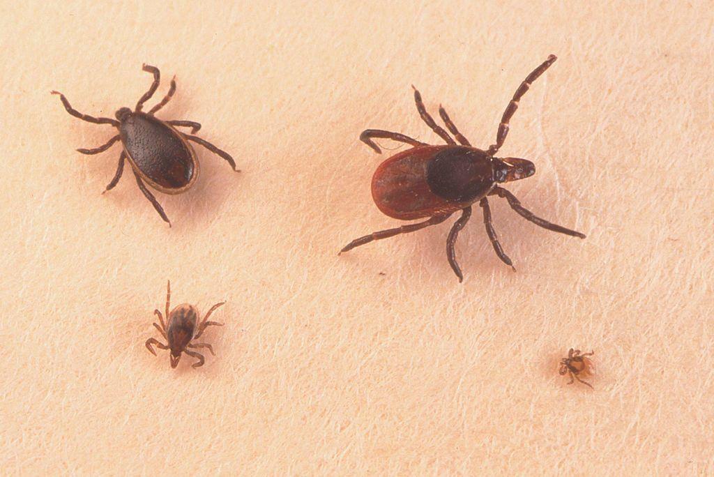 Adult Female, Adult Male Nymph, & Larva Ticks