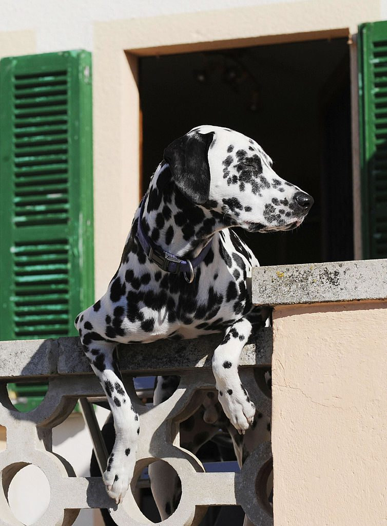 Dalmatian peaking out of window