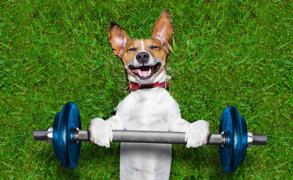 super strong dog lifting bing blue dumbbell bar