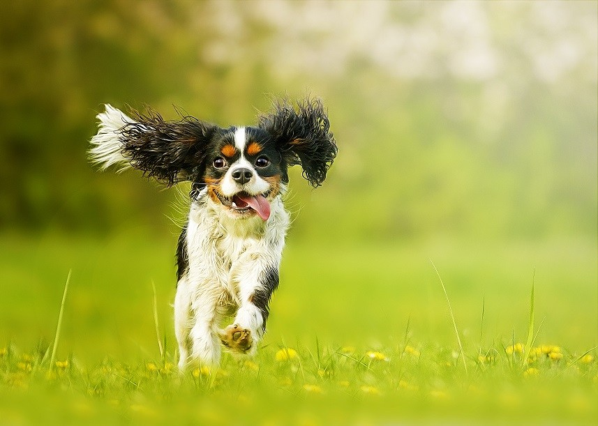 cavalier king charles spaniel running in grass
