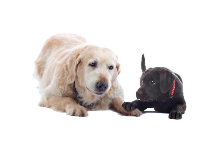 golden retriever and a chocolate Labrador pup