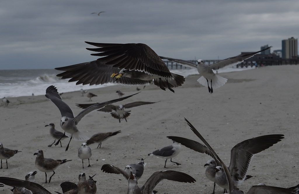 A seagull flies off with some food on the beach in Myrtle Beach, South Carolina, on October 6, 2016 as Hurricane Matthew makes its way towards the United States.<br /> Some three million people on the US southeast coast faced an urgent evacuation order Thursday as monstrous Hurricane Matthew -- now blamed for more than 100 deaths in Haiti alone -- bore down for a direct hit on Florida. / AFP / NICHOLAS KAMM (Photo credit should read NICHOLAS KAMM/AFP/Getty Images)