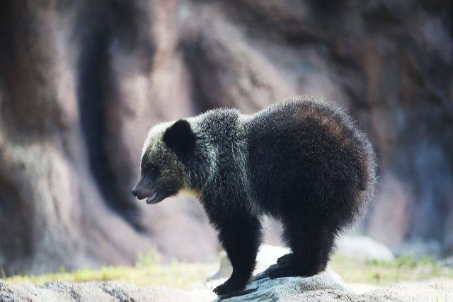 Grizzly bears at Palm Beach Zoo