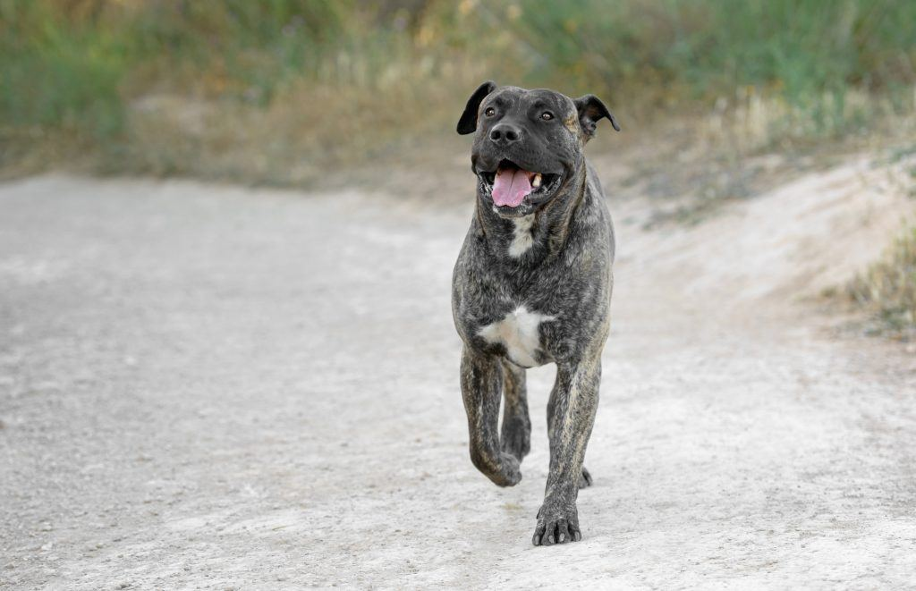 Uninsurable Dog Breed List