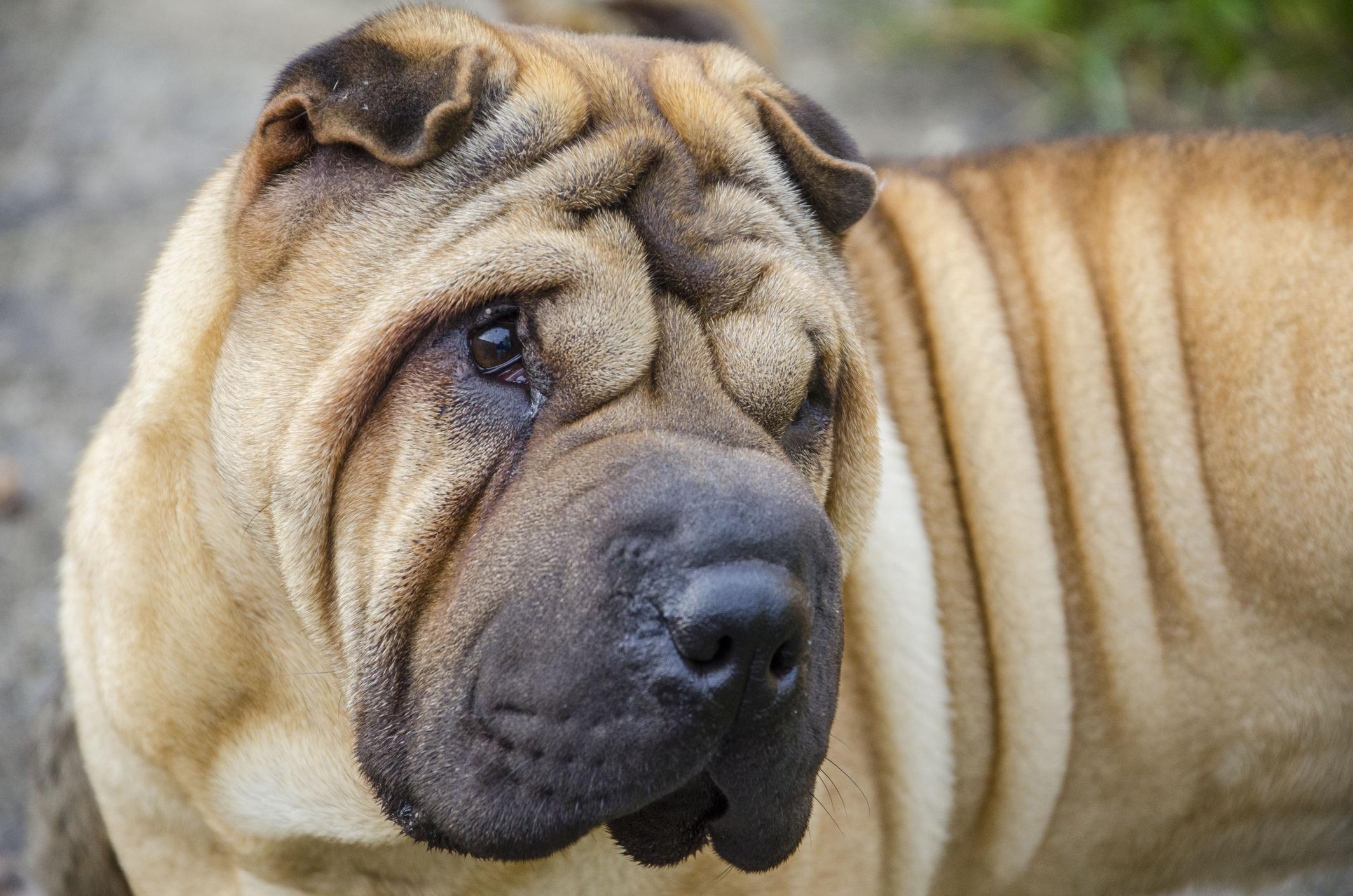 Shar-Pei dog