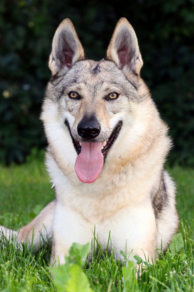 This Is the Most Commonly Banned Dog Breed in the U S
