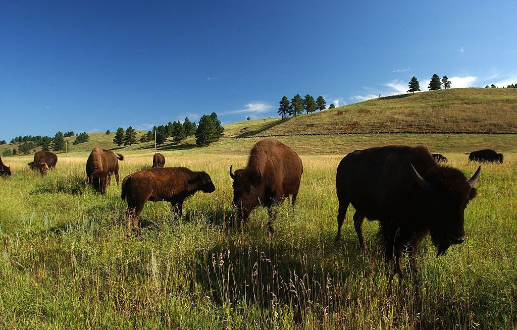 Bison graze in Custer State Park in the southern Black Hills of South Dakota.