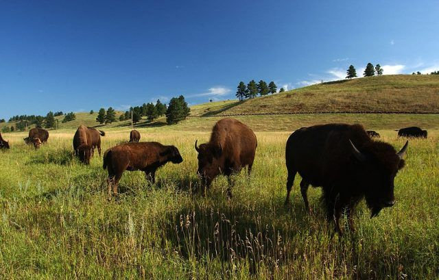 Bison graze in Custer State Park n the southern Black Hills of South Dakota.
