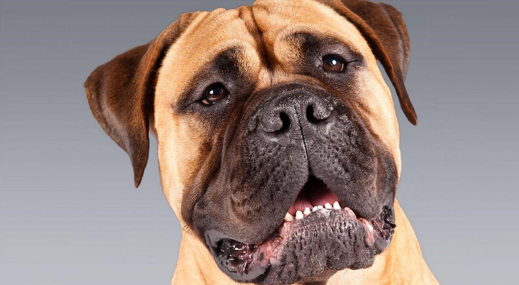 Headshot of a Bullmastiff