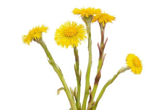 Coltsfoot behind a white background.