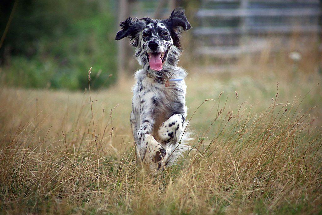 English setter dog breed