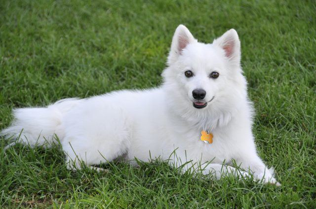 American Eskimo Dog resting on grass with a gold tag around its neck.