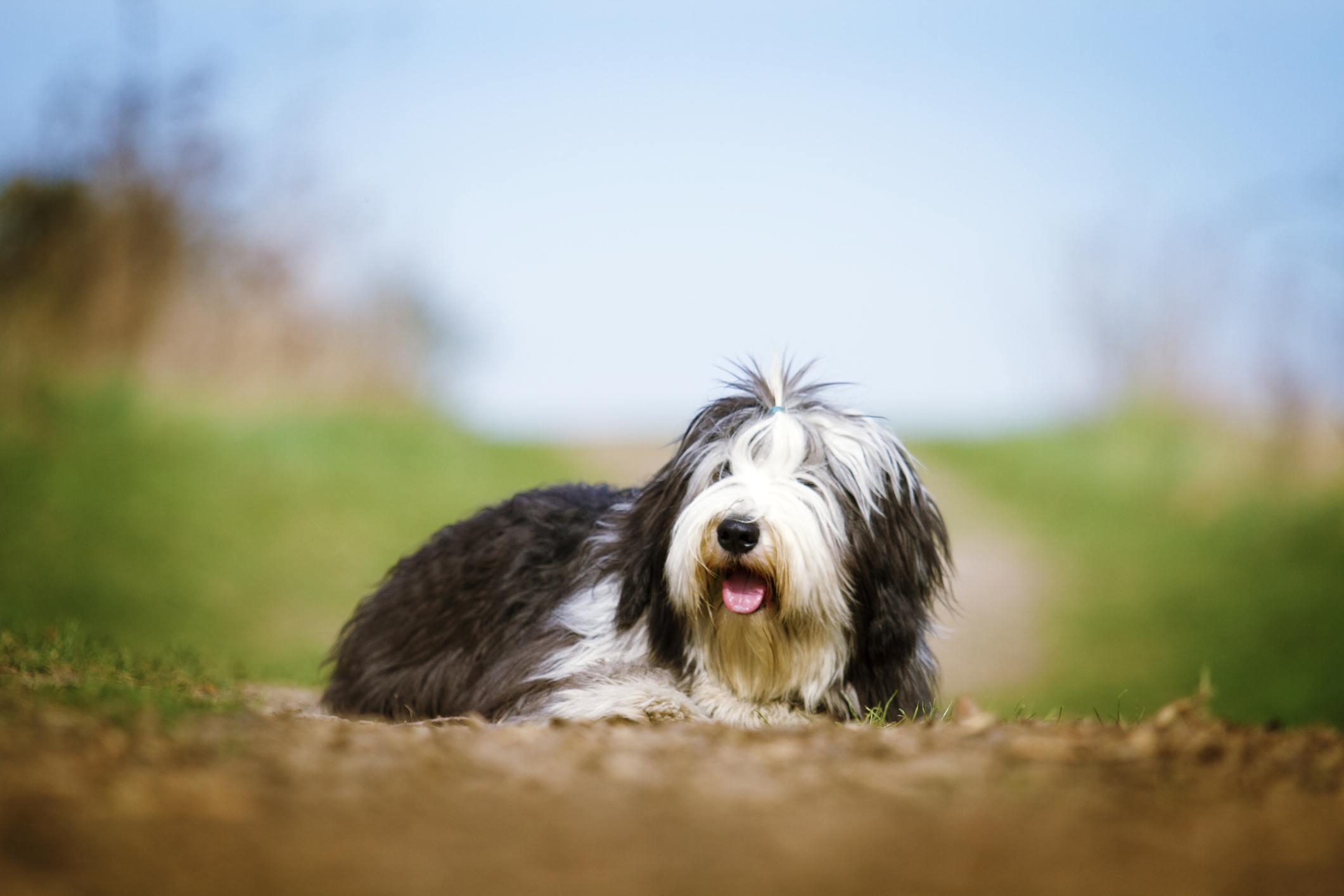 Bearded Collie Dog