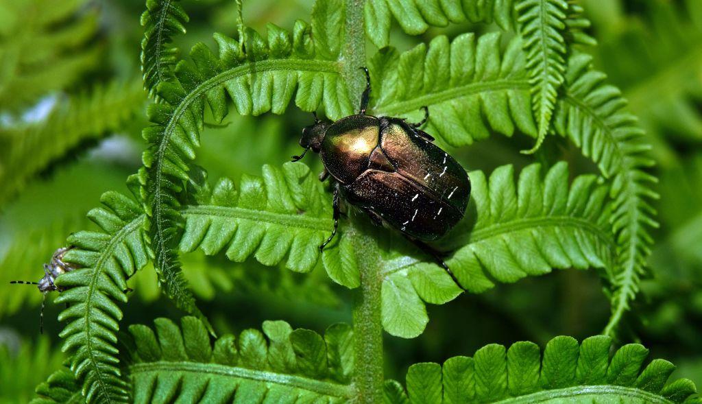 Beetle on leaves