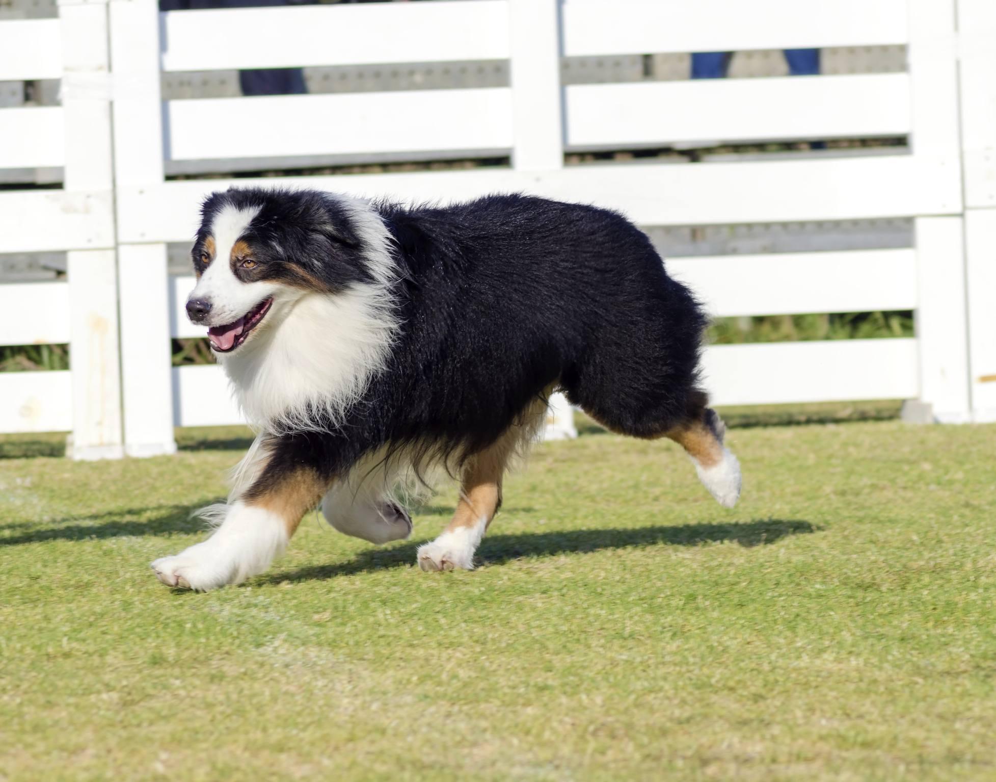 English Shepherd dog