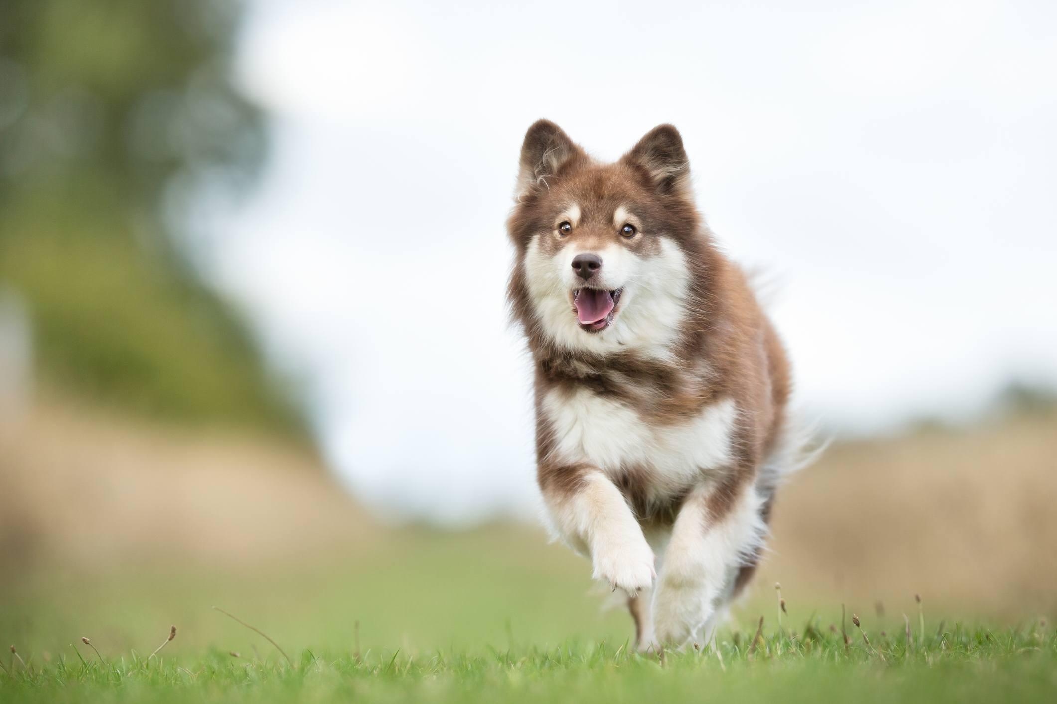 Finnish lapphund dog running