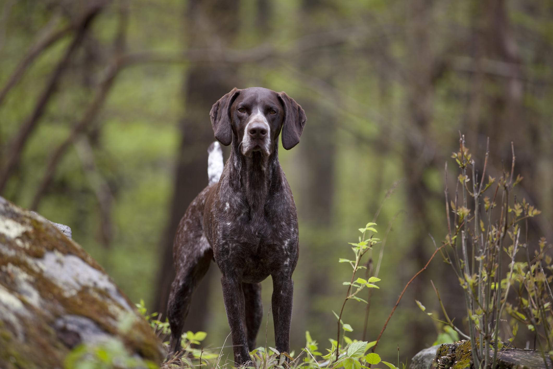 short haired German pointer