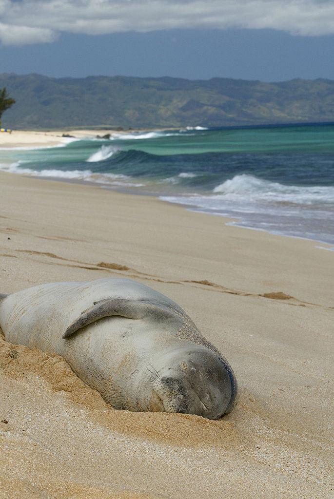 Monk seal on a beach