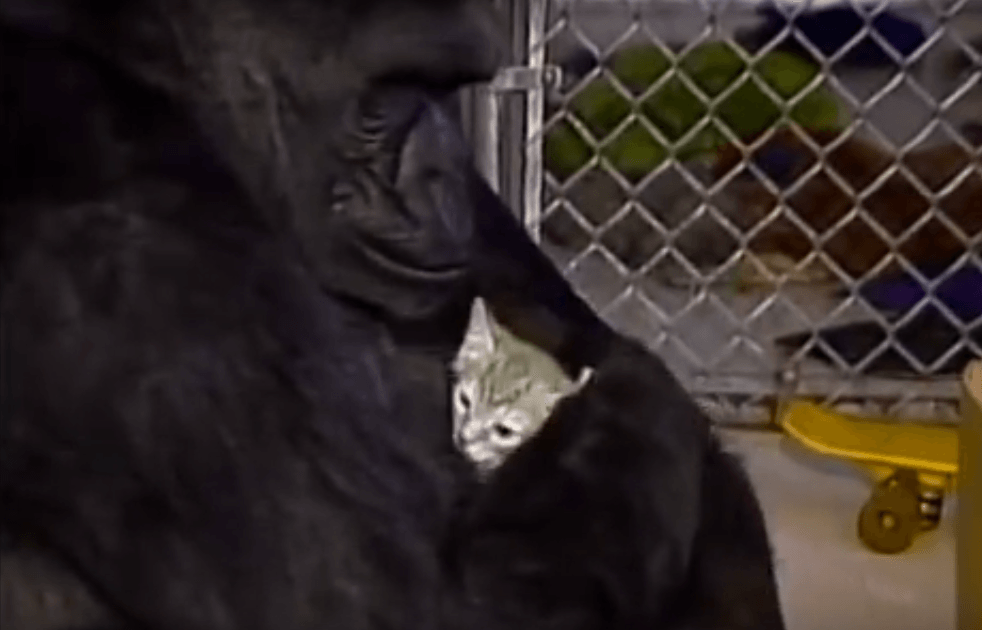 Koko the gorilla and her cat