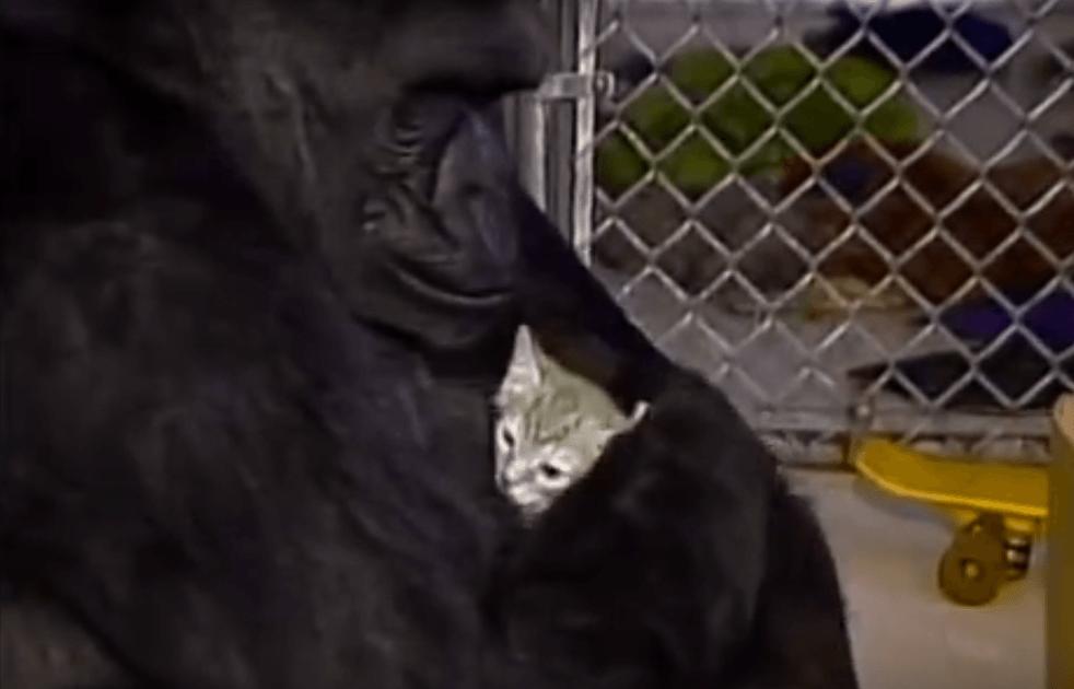 Koko the gorilla and her cat