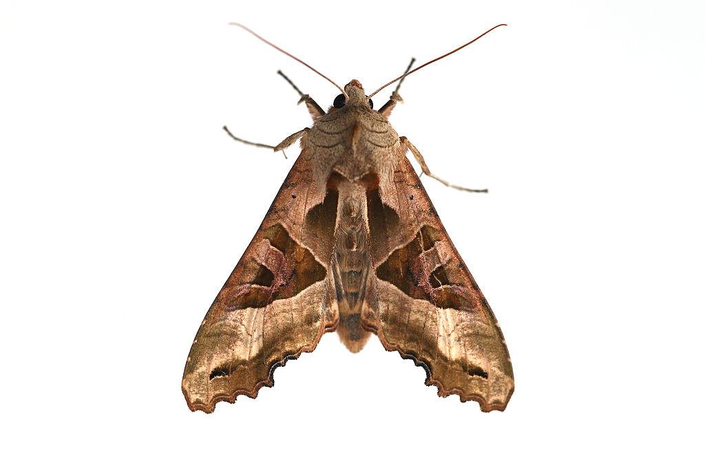 Moth on white background