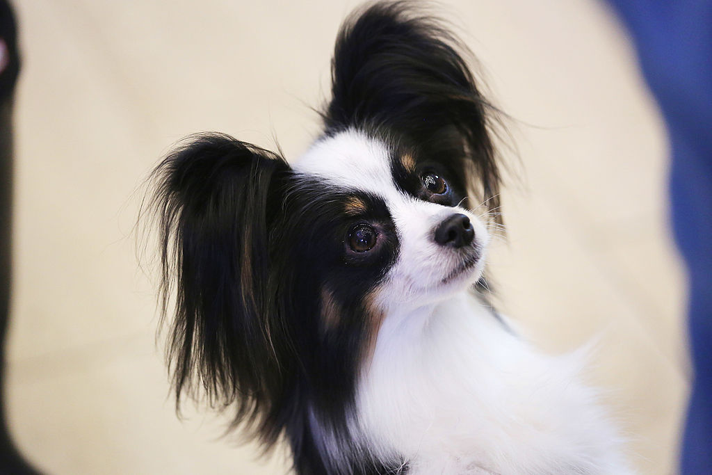 Popular Papillon Canine Adorable Dog - papillon-dog  Snapshot_948685  .jpg