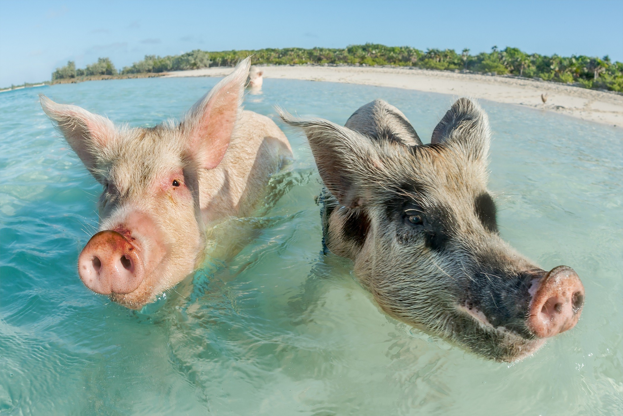 Pig beach exuma bahamas