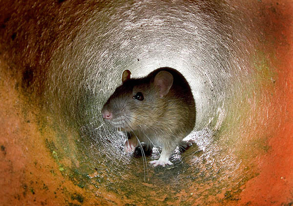 Rat in a tunnel