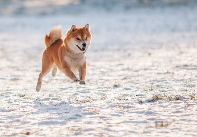 Shibu inu jumping in the snow