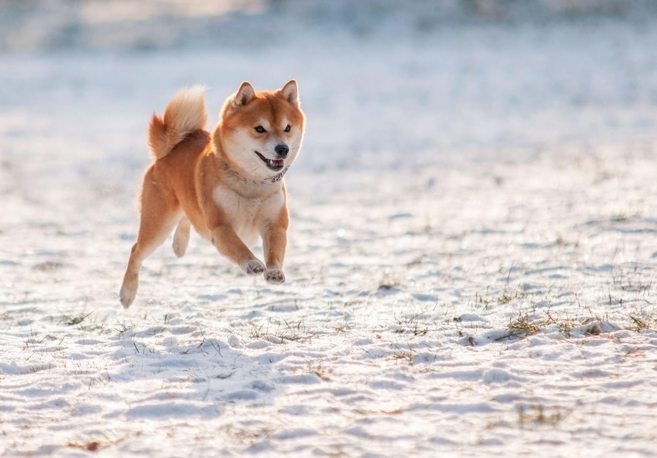 Shibu inu jumping in the snow